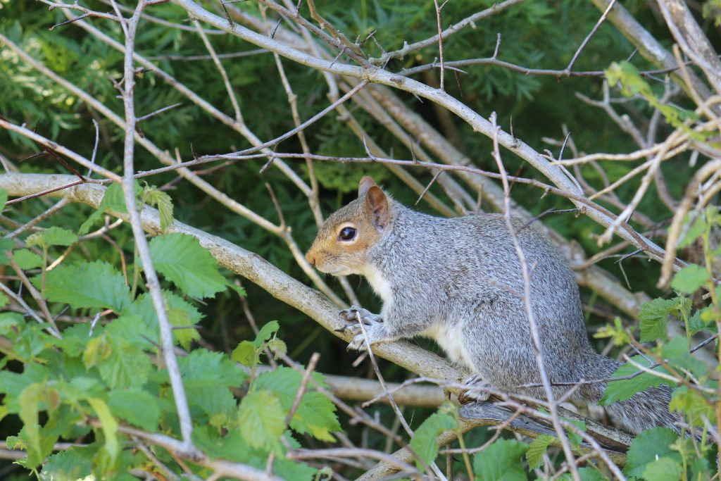 Grey squirrel trying to ignore me