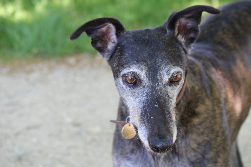 Handsome elderly greyhound